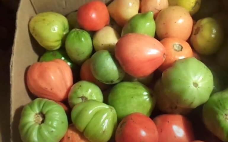 Kak-mozhno-sohranit-svezhie-pomidory-na-zimu