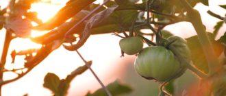 Kak-dolshe-sokhranit-pomidory-svezhimi