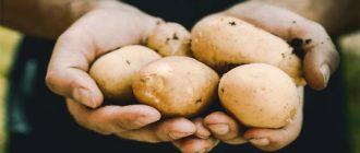 kogda-kartofel-vykapyvat-Kartofel