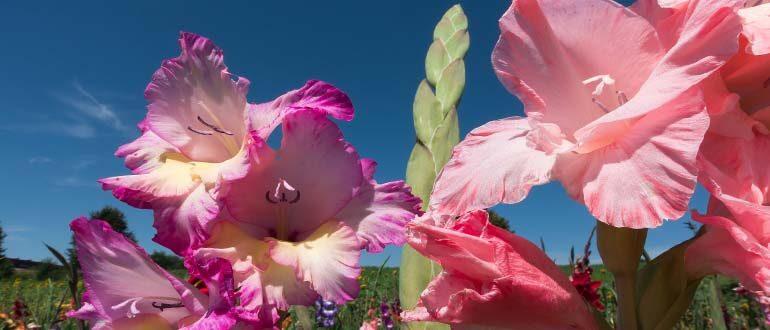 Gladiolusy-uhod-posle-tsveteniya-Gladiolusy