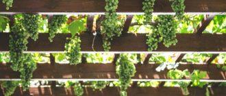 Kogda-i-kak-pravilno-obrezat-vinograd-Vinograd