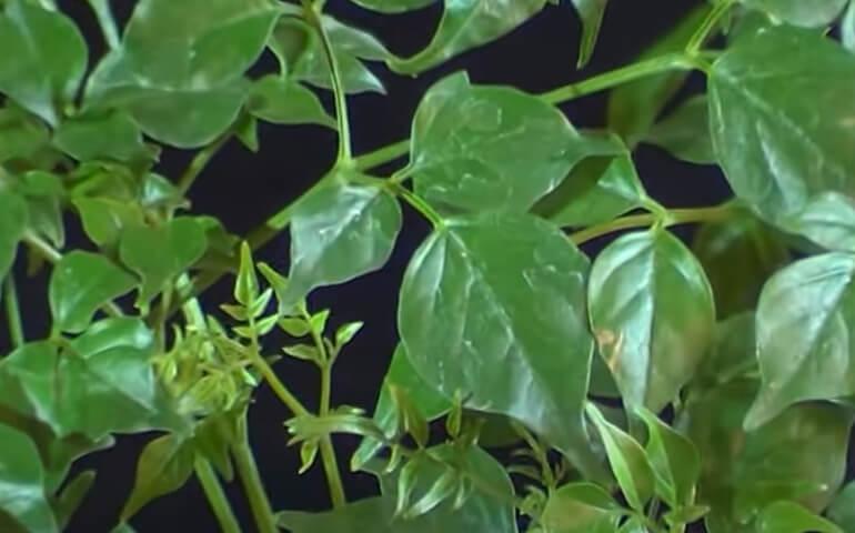 radermahera-kitajskaya-Radermahera-molodye-pobegi